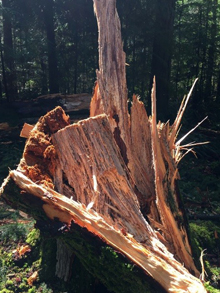 Western hemlock – Root Rotted Stump